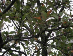 Common Diseases of Crabapple Trees