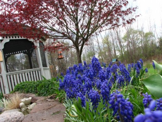 Grape Hyacinth with Japanese Maple in backyard