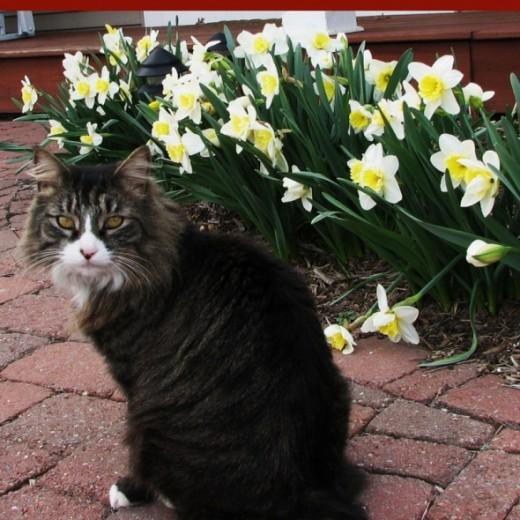 Darby with Daffodils