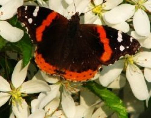 Red Admiral butterfly on crabapple blossoms