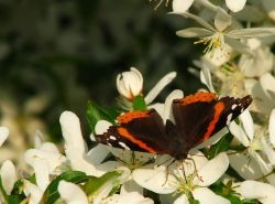 Migrating Red Admiral Butterfly