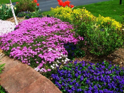 "Creeping Phlox, Violets, and ""Basket of Gold"" Alyssum"