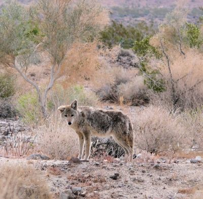 Coyote on the outskirts of Death Valley