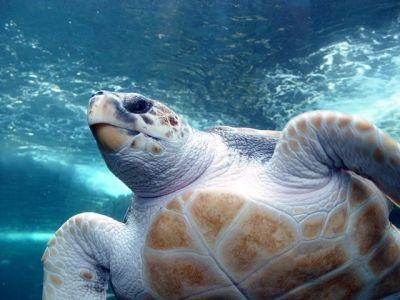 Loggerhead Sea Turtle, picture by Damien du Toit