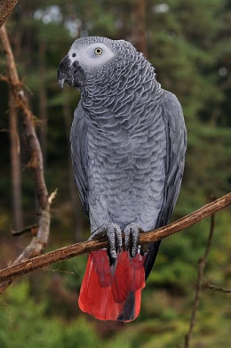 African Grey Parrot by Quartl on Wikimedia Commons