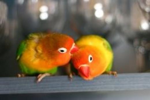Fischer's Lovebirds, by Peter Békési on Wikimedia Commons