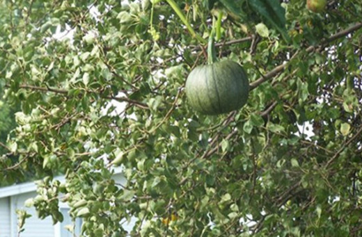 A pumpkin is shown appearing to be growing in their pear tree at their Greenfield home, 50 miles southwest of Des Moines, Iowa.
