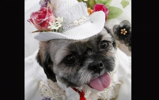 A Shih Tzu, wearing a traditional Filipino dress, waits for her turn during the Fashionista Pooch, a dog fashion show at a mall in Pasay City Metro Manila