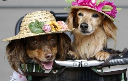 Miniature dachshund crossbreed