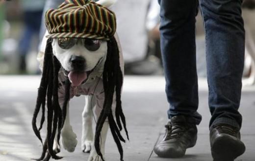 A dog dressed as a Rastafarian