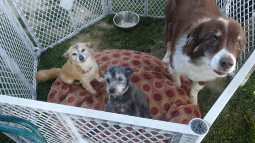 That's little Rita (the dog on the right with the cut smile), wee Gizmo, and Killian on our latest camping trip.