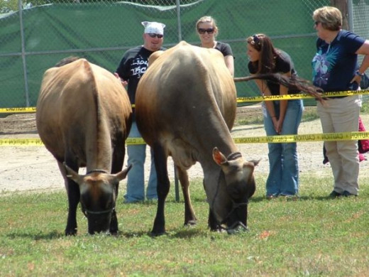 Spectators Getting An Interesting Look at the Cows