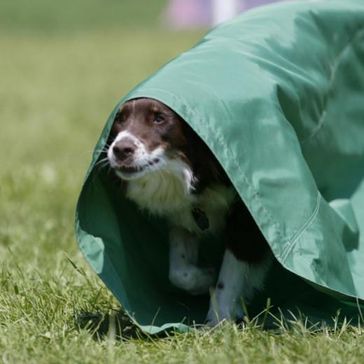 Killian ROCKED the agility course at dog camp
