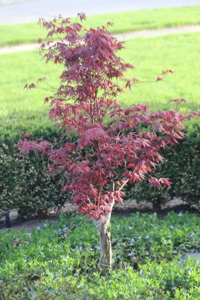 I believe this is a Japanese Maple.  I just saw one at Home Depot. :)