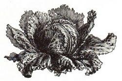 cabbage AKA sauerkraut