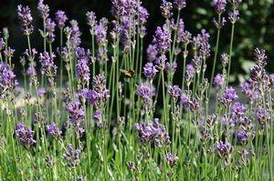 lavender, believed public domain