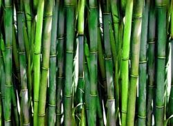 bamboo public domain image