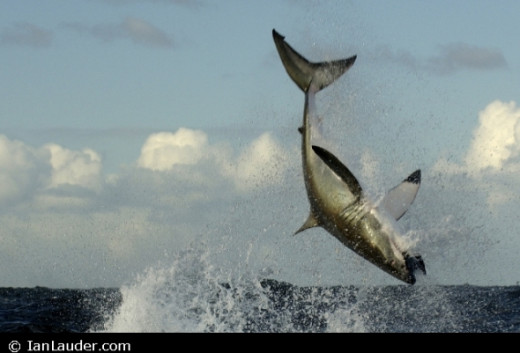 Flying Great White Shark