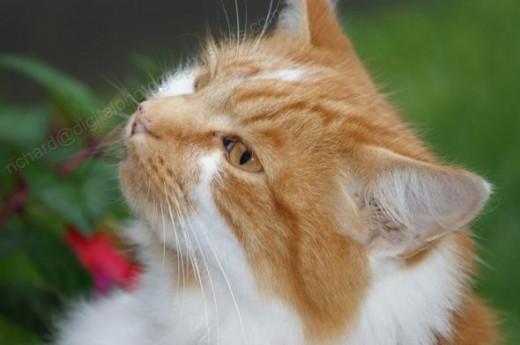 Beautiful Marmalade Cat