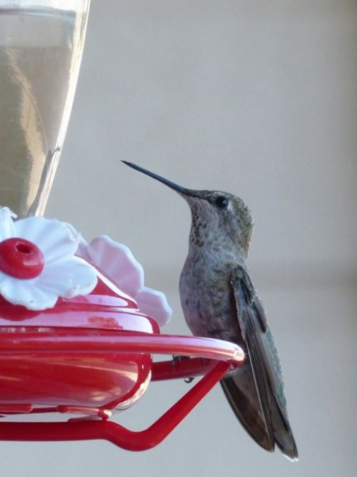Feeders with a perch give the hummingbird a place to rest while feeding and give you a chance to see these beautiful little creatures sitting still.