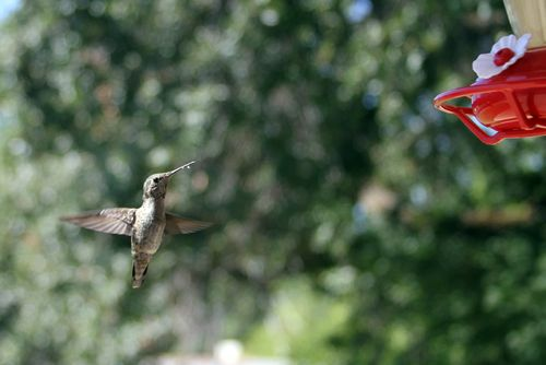 Hummingbirds are fast! You'll need a quick eye to watch them zoom in to your feeder.