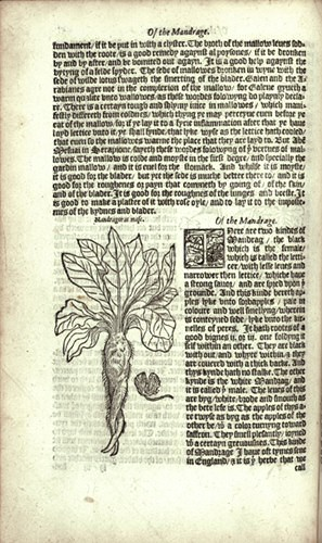 Illustration from William Turner's Herbal - Mandrake from between 1551 and 1568.