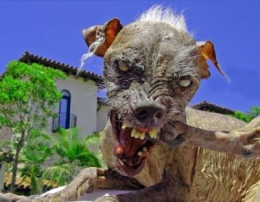 Sam ~ Three-Time Champ in the World's Ugliest Dog Contest
