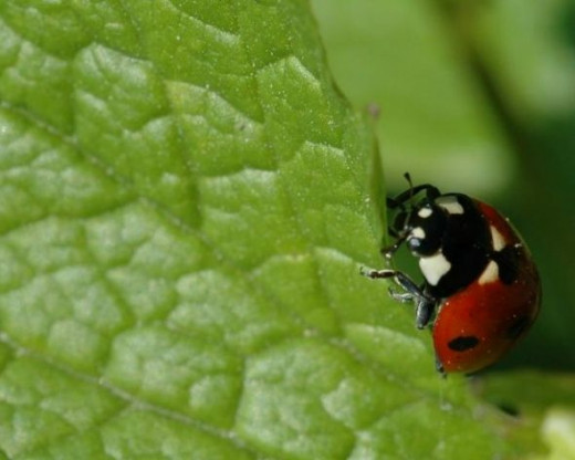 Ladybug Eating - Photo Credit: diciu