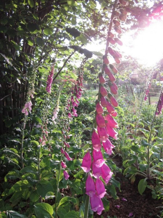 pink thimbell flowers