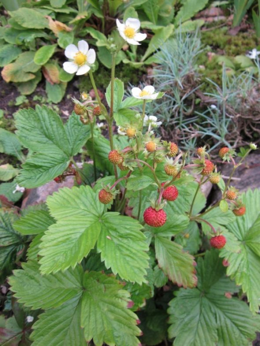 Small Strawberry plant