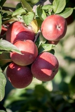 Visit an Apple Festival