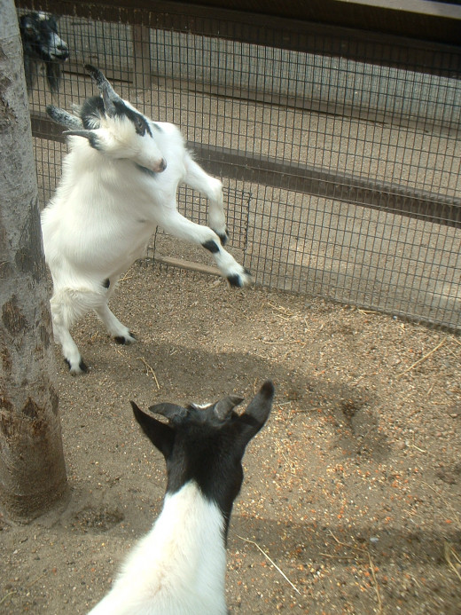We always visit the children's petting zoo. The goats are always a favorite hit.