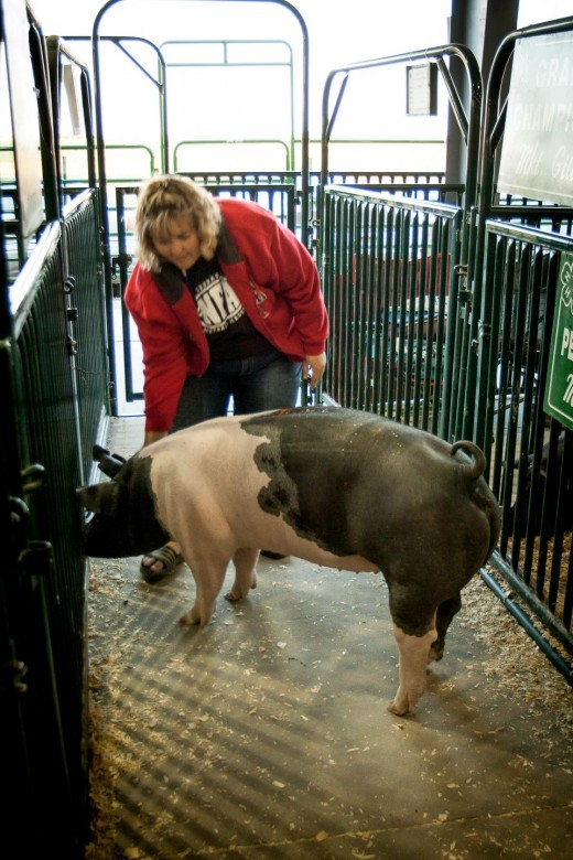 Taking care of the pigs in the livestock building. This hampshire won a blue ribbon