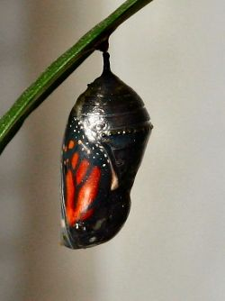 The butterfly is nearly ready to emerge from the chrysalis
