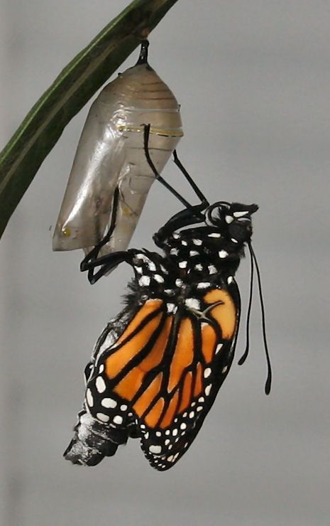 Just emerged from its chrysalis
