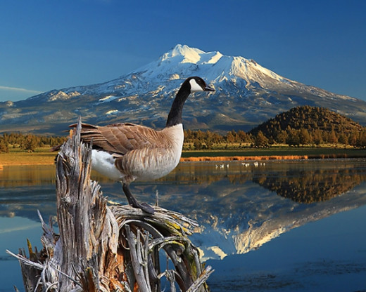 Canada Goose on The Lake