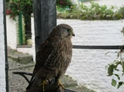 Kestrel up close