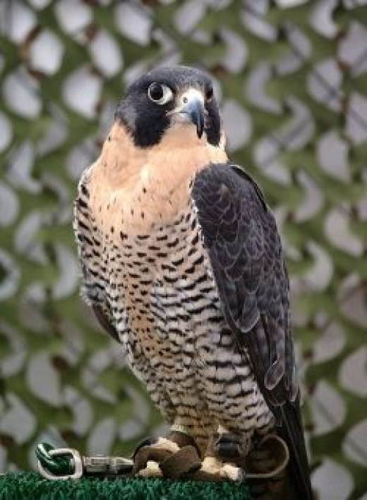 Peregrine Falcon Tethered