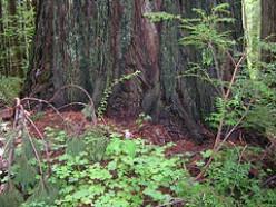 Base of giant redwood, Oregon. Photo coutesy Flickr.