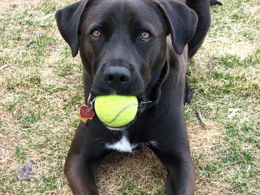 Dogs who love to play fetch, this black Labrador is no exception. Creative Commons image by Matt McGee Flickr