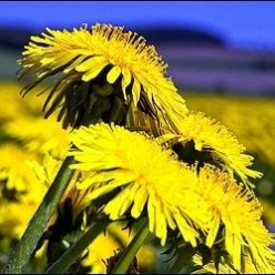 Dandelions: Flowers or Weeds?