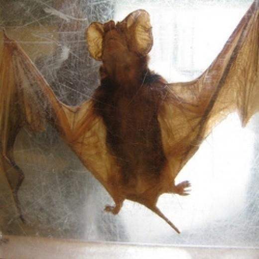 An actual bat