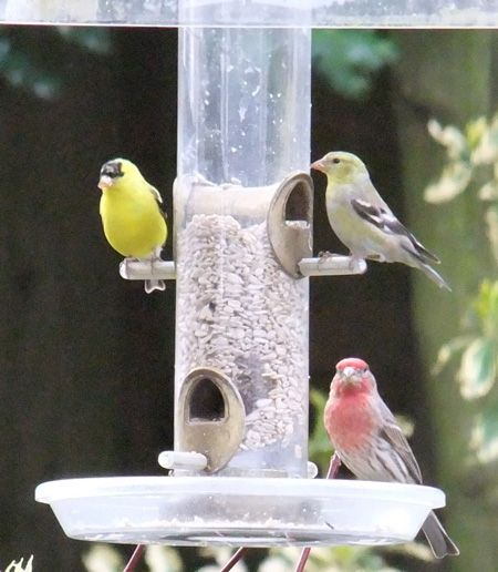 Goldfinch, house finch