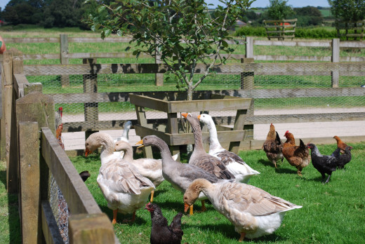Feeding time at the Poultry Orchard.