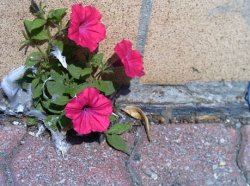 Petunias growing out of the pavement