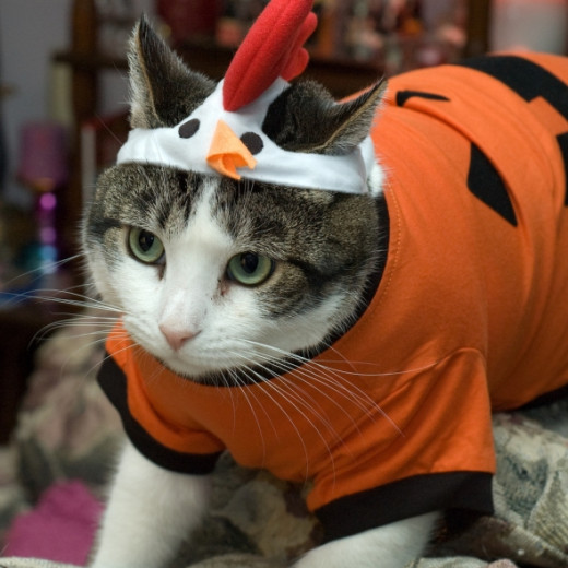 Kitty as a Chicken in a Pumpkin outfit