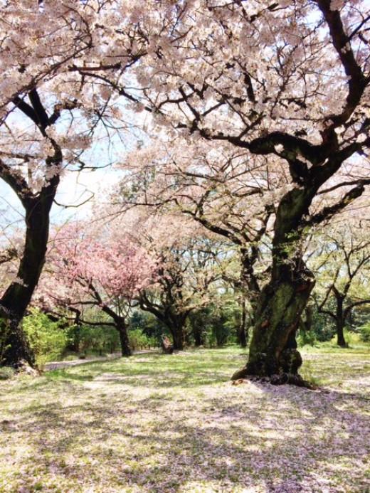 Walking around admiring the sakura
