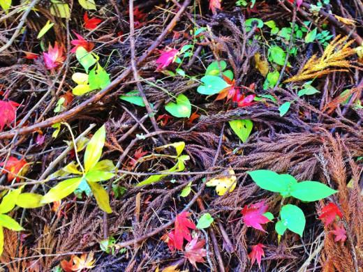 My photo of fall leaves in Hakone