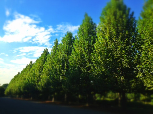 Neat rows of trees line the way to the French gardens.