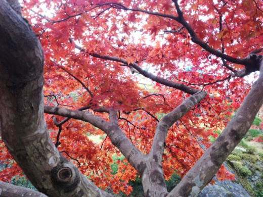 Beautiful autumn foliage in Hakone